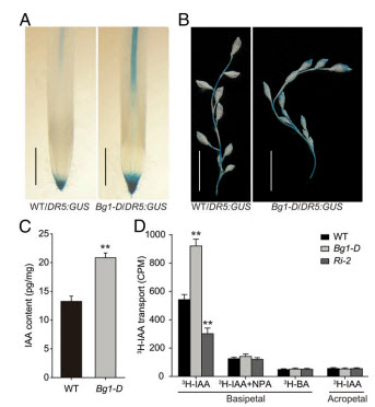Altered auxin distribution transport in Bg1 D mutant
