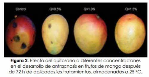 Efecto quitosano sobre mango concentraciones diferentes