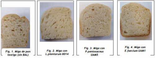 pan fermentado bacteria lactea